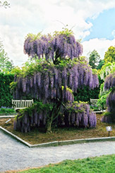 Japanese Wisteria (Wisteria floribunda) at Johnson Brothers Garden Market