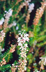 Scotch Heather (Calluna vulgaris) at Johnson Brothers Garden Market
