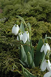Common Snowdrop (Galanthus nivalis) at Johnson Brothers Garden Market