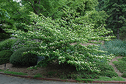 Pagoda Dogwood (Cornus alternifolia) at Johnson Brothers Garden Market