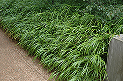 Japanese Woodland Grass (Hakonechloa macra) at Johnson Brothers Garden Market