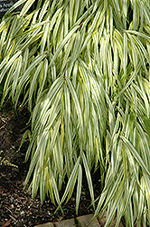 Golden Variegated Hakone Grass (Hakonechloa macra 'Aureola') at Johnson Brothers Garden Market