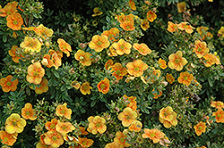 Mango Tango Potentilla (Potentilla fruticosa 'Mango Tango') at Johnson Brothers Garden Market