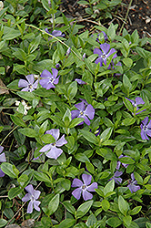 Common Periwinkle (Vinca minor) at Johnson Brothers Garden Market