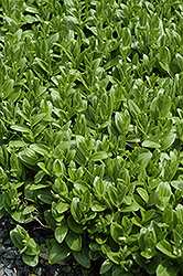 Solomon's Seal (Polygonatum humile) at Johnson Brothers Garden Market