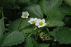 Everbearing Strawberry (Fragaria 'Everbearing') at Johnson Brothers Garden Market