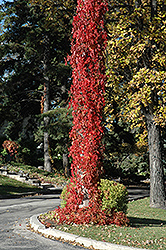 Virginia Creeper (Parthenocissus quinquefolia) at Johnson Brothers Garden Market