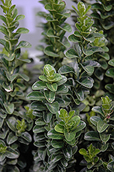 Green Spire Euonymus (Euonymus japonicus 'Green Spire') at Johnson Brothers Garden Market