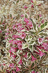 My Monet® Weigela (Weigela florida 'Verweig') at Johnson Brothers Garden Market
