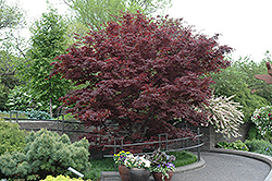 Bloodgood Japanese Maple (Acer palmatum 'Bloodgood') at Johnson Brothers Garden Market