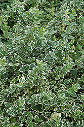 Variegated Wintercreeper (Euonymus fortunei 'Variegatus') at Johnson Brothers Garden Market