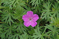 Tiny Monster Cranesbill (Geranium 'Tiny Monster') at Johnson Brothers Garden Market