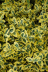 Emerald 'n' Gold Wintercreeper (Euonymus fortunei 'Emerald 'n' Gold') at Johnson Brothers Garden Market