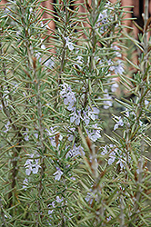 Arp Rosemary (Rosmarinus officinalis 'Arp') at Johnson Brothers Garden Market