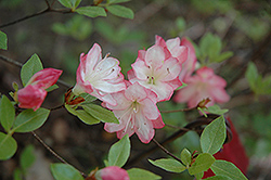 Apple Blossom Azalea (Rhododendron 'Apple Blossom') at Johnson Brothers Garden Market