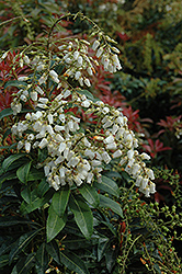 Mountain Fire Japanese Pieris (Pieris japonica 'Mountain Fire') at Johnson Brothers Garden Market