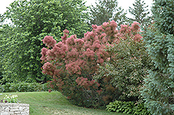 Royal Purple Smokebush (Cotinus coggygria 'Royal Purple') at Johnson Brothers Garden Market