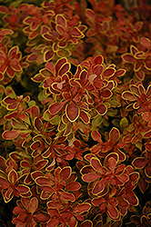 Admiration Japanese Barberry (Berberis thunbergii 'Admiration') at Johnson Brothers Garden Market