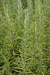 Upright Rosemary (Rosmarinus officinalis 'Upright') at Johnson Brothers Garden Market