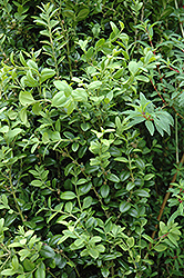 Graham Blandy Boxwood (Buxus sempervirens 'Graham Blandy') at Johnson Brothers Garden Market