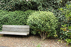 Common Boxwood (Buxus sempervirens) at Johnson Brothers Garden Market