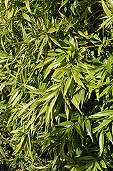 Himalayan Sweet Box (Sarcococca hookeriana) at Johnson Brothers Garden Market