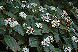 David Viburnum (Viburnum davidii) at Johnson Brothers Garden Market