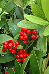 Japanese Skimmia (Skimmia japonica) at Johnson Brothers Garden Market