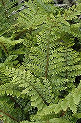 Japanese Tassel Fern (Polystichum polyblepharum) at Johnson Brothers Garden Market