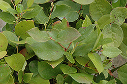 Salal (Gaultheria shallon) at Johnson Brothers Garden Market