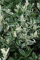 Harlequin Wintercreeper (Euonymus fortunei 'Harlequin') at Johnson Brothers Garden Market