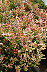 Spring Torch Heather (Calluna vulgaris 'Spring Torch') at Johnson Brothers Garden Market