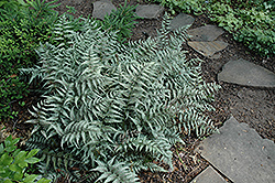 Japanese Painted Fern (Athyrium goeringianum) at Johnson Brothers Garden Market