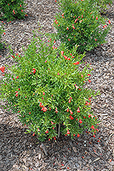 Dwarf Pomegranate (Punica granatum 'Nana') at Johnson Brothers Garden Market