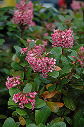 Newport Dwarf Escallonia (Escallonia 'Newport Dwarf') at Johnson Brothers Garden Market