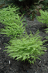 Western Maidenhair Fern (Adiantum aleuticum) at Johnson Brothers Garden Market