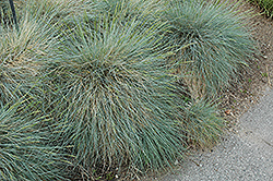 Siskiyou Blue Fescue (Festuca glauca 'Siskiyou Blue') at Johnson Brothers Garden Market