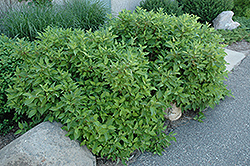 Firedance™ Dogwood (Cornus sericea 'Bailadeline') at Johnson Brothers Garden Market