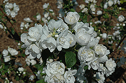 Snow White Sensation® Mockorange (Philadelphus 'Snow White Sensation') at Johnson Brothers Garden Market