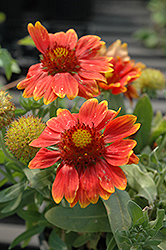 Gallo™ Orange Blanket Flower (Gaillardia aristata 'Gallo Orange') at Johnson Brothers Garden Market