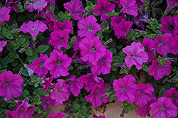 Wave Lavender Petunia (Petunia 'Wave Lavender') at Johnson Brothers Garden Market