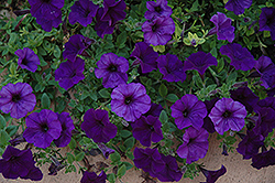 Wave Blue Petunia (Petunia 'Wave Blue') at Johnson Brothers Garden Market