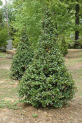 Castle Spire® Meserve Holly (Ilex x meserveae 'Hachfee') at Johnson Brothers Garden Market