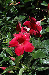 Red Mandevilla (Mandevilla 'Red') at Johnson Brothers Garden Market