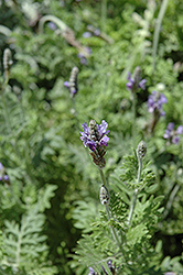 Fernleaf Lavender (Lavandula multifida) at Johnson Brothers Garden Market