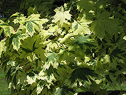 Variegated Norway Maple (Acer platanoides 'Variegatum') at Johnson Brothers Garden Market