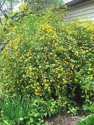 Double Flowered Japanese Kerria (Kerria japonica 'Pleniflora') at Johnson Brothers Garden Market