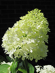 Limelight Hydrangea (Hydrangea paniculata 'Limelight') at Johnson Brothers Garden Market