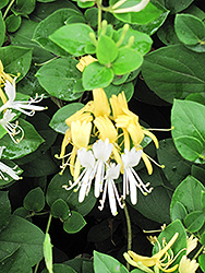 Hall's Japanese Honeysuckle (Lonicera japonica 'Halliana') at Johnson Brothers Garden Market