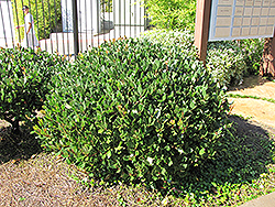 Japanese Mock Orange (Pittosporum tobira) at Johnson Brothers Garden Market